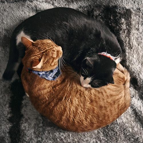 Ying & Yang felino