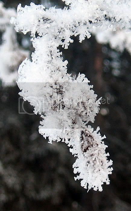 Frost On Alder Cones