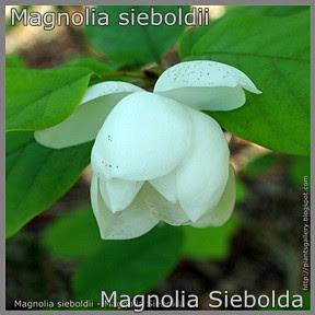 Magnolia sieboldii - Magnolia Siebolda