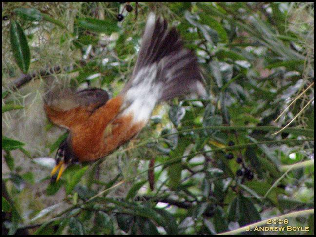 Feeding Robins