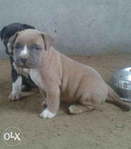 Bully Pitbull Puppies Price - Pet's Gallery