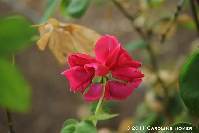 'Chrysler' rose