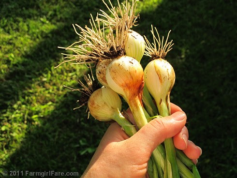 freshly picked Texas 1015 super sweet spring onions - Farmgirl Fare