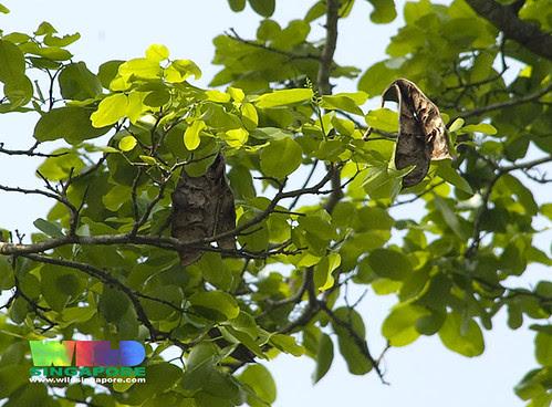Ipil (Intsia bijuga)