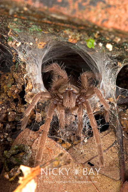 Tarantula (Phlogiellus sp.) - DSC_9296