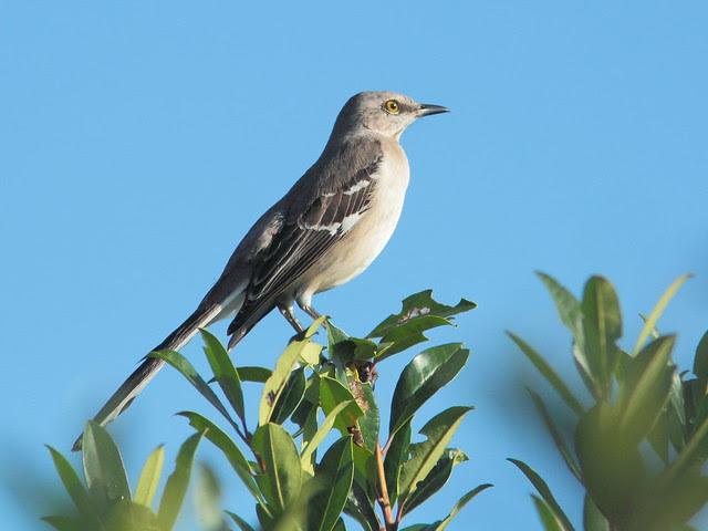 Northern Mockingbird 20121207