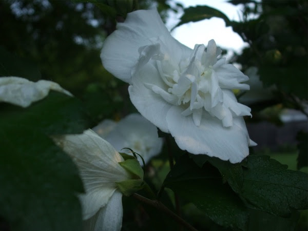 Rose Of Sharon Seedlings Plague Indiana Gardeners Hoosier Gardener