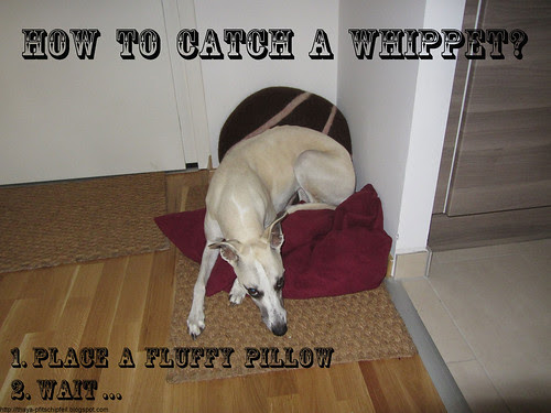 how-to-catch-a-whippet