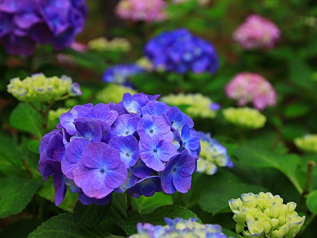 50歳以上 紫陽花 壁紙 無料 1万 お気に入りの壁紙オプション