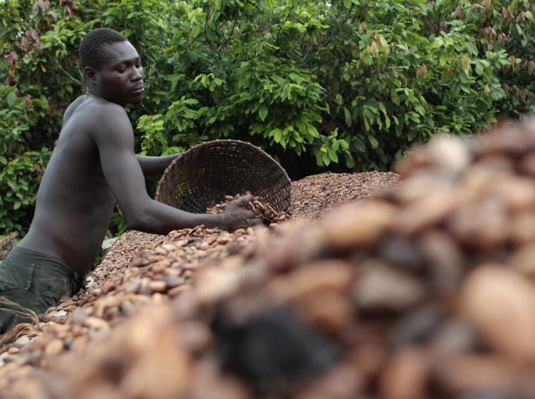Un contadino sparge i semi di cacao in una fattoria fuori dal villaggio di Fangolo, Costa d'Avorio (foto AP)