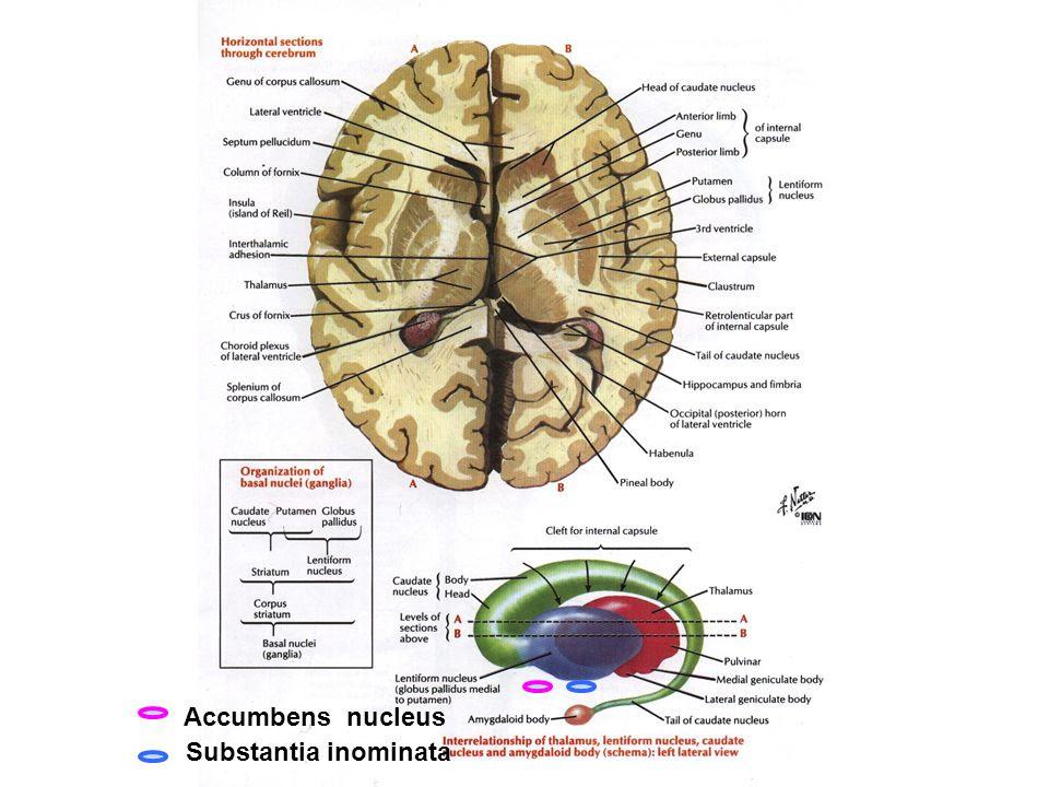 Accumbens+nucleus+Substantia+inominata