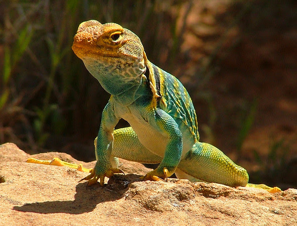 collared lizard in Rattlesnake Canyon, Colorado