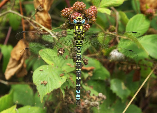 DSC_6948 Southern Hawker dragonfly
