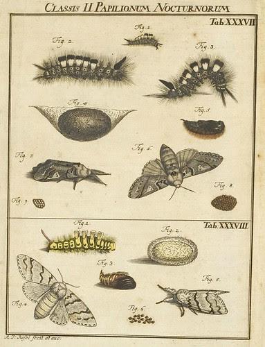 Classis II Papilionum Noctornum (Bomcyx fascelina) V.1