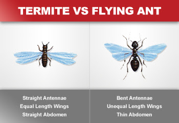 Picture of Termite vs. Flying Ant