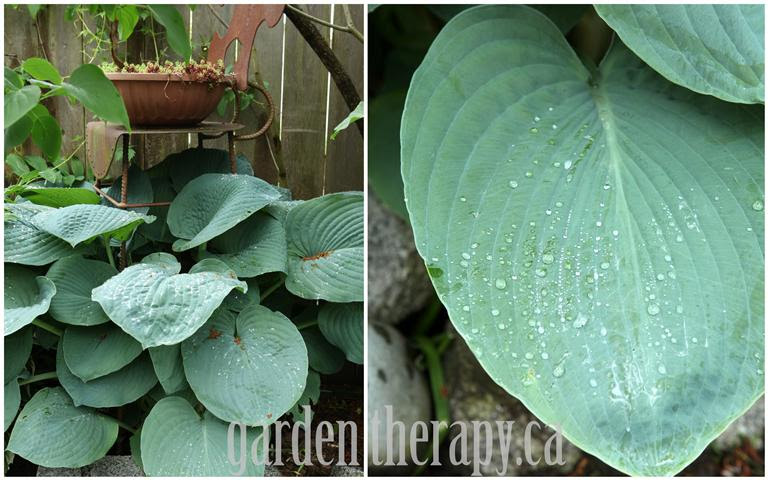 blue big leaf hosta