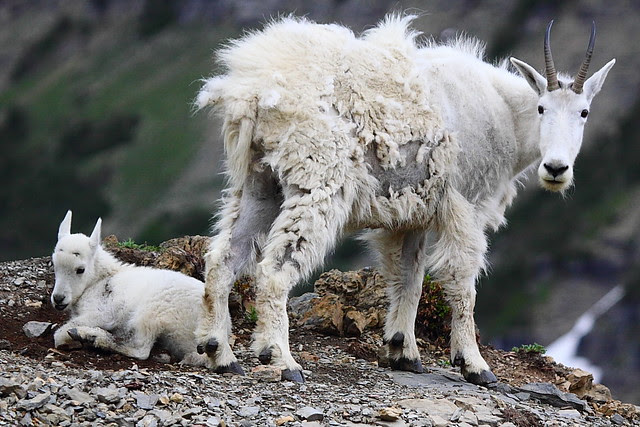 IMG_4262 Mountain Goat Nanny and Kid, Glacier National Park