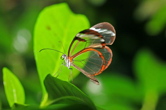 الفراشة الزجاجيه الشفافه فراشة الزجاج Greta oto بالصور 432917.jpg