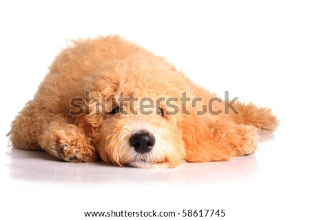 goldendoodle puppy pictures. stock photo : Golden doodle