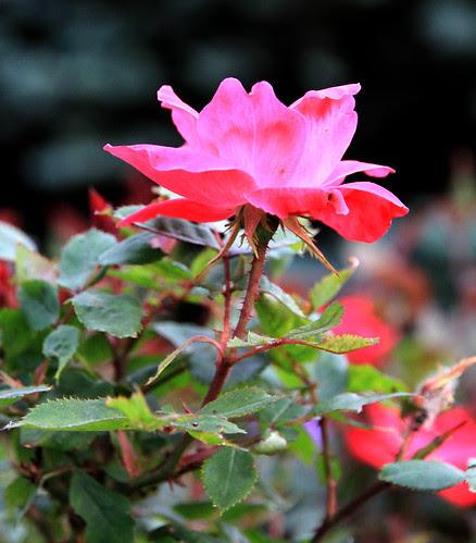 knockout_rose