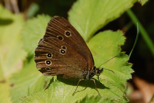 butterfly ringlet