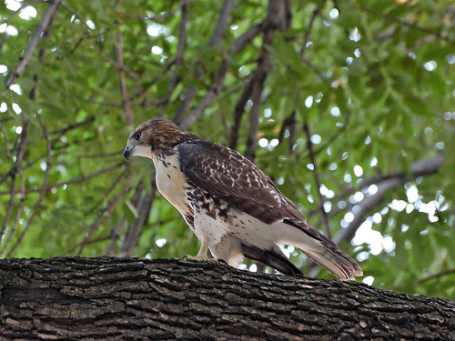 Red-Tail Fledgling Apres Dinner