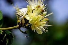 Flor do Pequizeiro