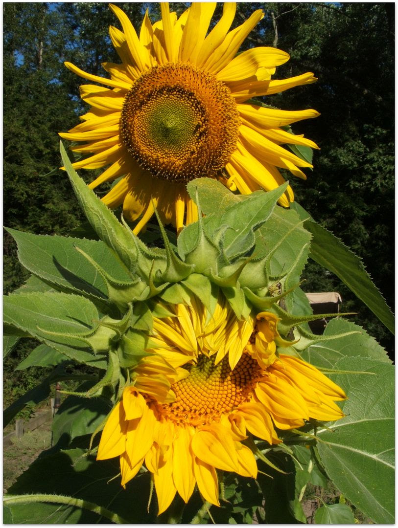 Giant Gray Stripe Sunflower by Angie Ouellette-Tower for godsgrowinggarden.com photo 011_zps8b22229f.jpg