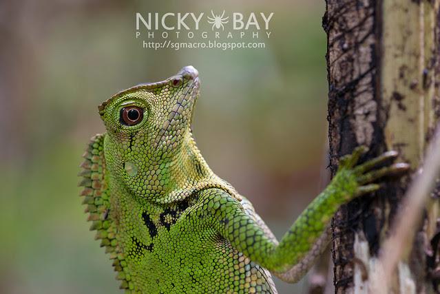 Great Anglehead Lizard (Gonocephalus grandis?) - DSC_9169