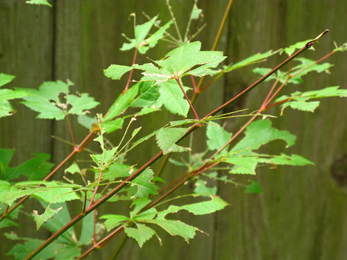 Leaf cutter bees depriving me of fall color again this year. Oh well. At least I have a few grape vines.