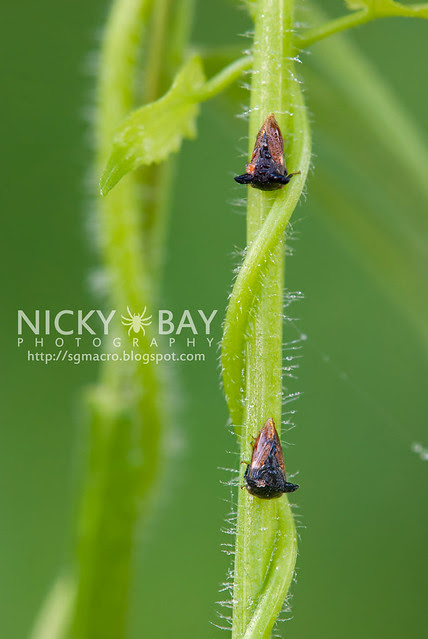 Treehoppers (Membracidae) - DSC_5861