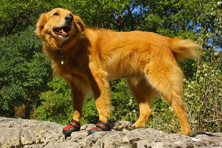 Dog in boots