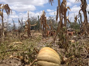 Meio à seca, plantação de abbóbora também não vinga na propriedade de Manoel (Foto: Henrique Mendes / G1)
