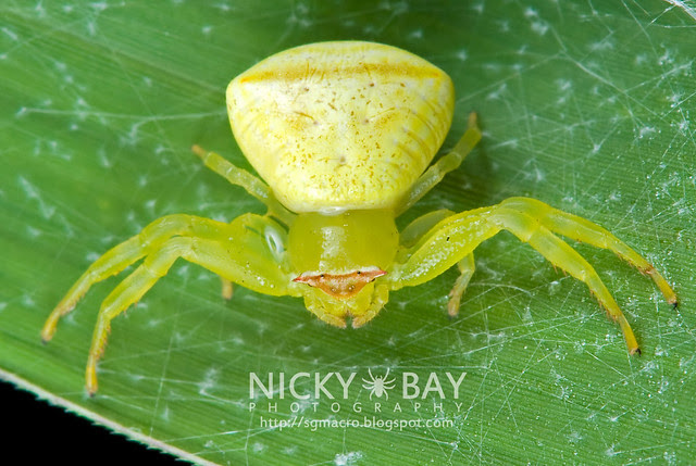 Crab Spider (Thomisidae) - DSC_7966