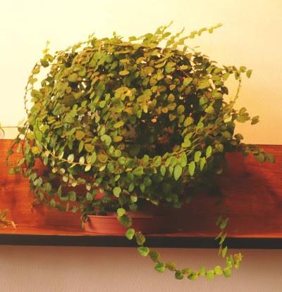 http://kvetiny.tobudetecubr.net/Obrazky/Pokojove/EI/ficus_pumila.jpg