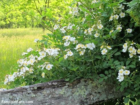 (28-14) Multiflora roses are perfuming the air - FarmgirlFare.com