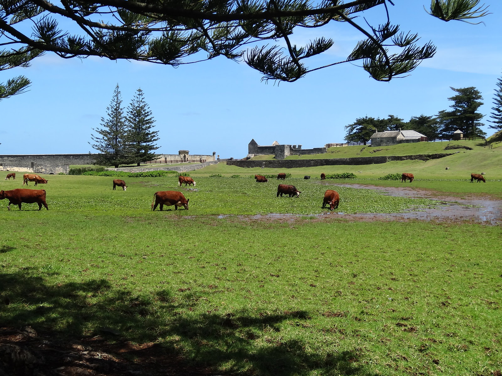 Cattle, swamps and Norfolk Island pine trees on Norfolk Island