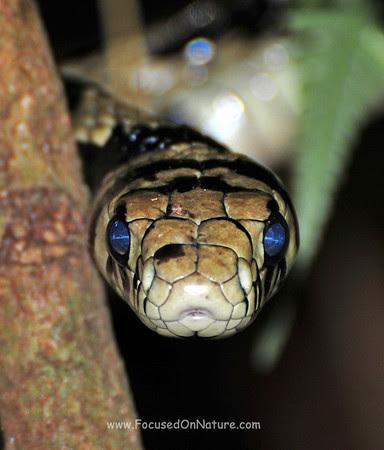 Oriole Snake