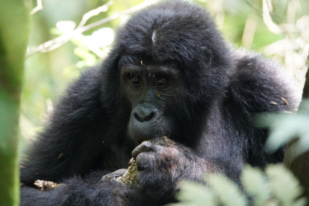 Gorilla Trekking – 5 Tips For The First Timers