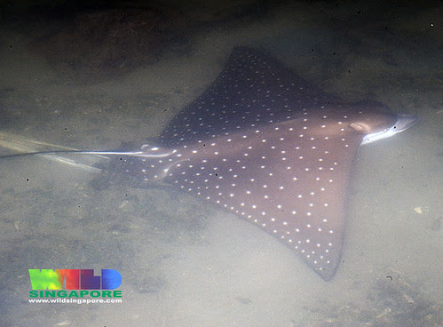 Oil-slicked Tanah Merah: Spotted eagle ray (Aetobatus narinari)