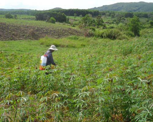 Nhiều nông dân chuyển sang trồng sắn.