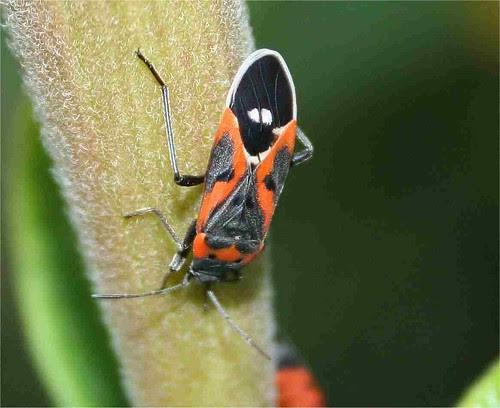 milkweedbug1
