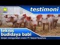 Nutrisi Untuk Babi Agar Cepat Gemuk