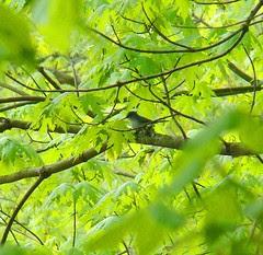 blue gray gnatcatcher nest building