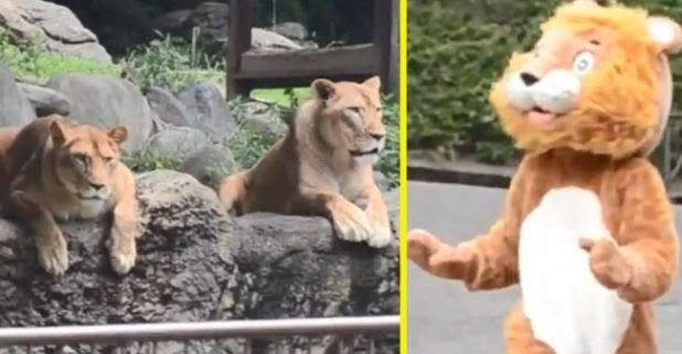 Japanese Zoo Conducts a Lion Escape Drill, Check the Reactions of Twitterati after Watching Real Lion Expressions