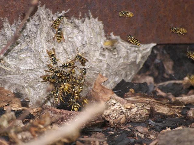 DSC_8244 wasp nest