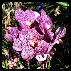 #orchid at Royal #Flower Park in Chiang Mai #Thailand. #travel