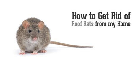how to get rid of rats in your backyard   28 images   how to get rid of mice fast amazing tip
