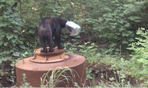 In an undated photo provided by the Tennessee Wildlife Resources Agency, a bear with a jar stuck on it's head is seen in Cocke County, Tenn.  State wildlife officers looked for the bear for three weeks after reports he was caught in the unfortunate headgear, until wildlife officer Shelley Hammonds of the Tennessee Wildlife Resources Agency spotted him on July 17. She tranquilized the bear, and the bear collapsed in downtown Newport, Tenn., where dozens of people watched the jar removal.  The bear weighed just 115 pounds, when it should have weighed around 200. It was released into the Cherokee National Forest. (AP Photo/Tennessee Wildlife Resources Agency)