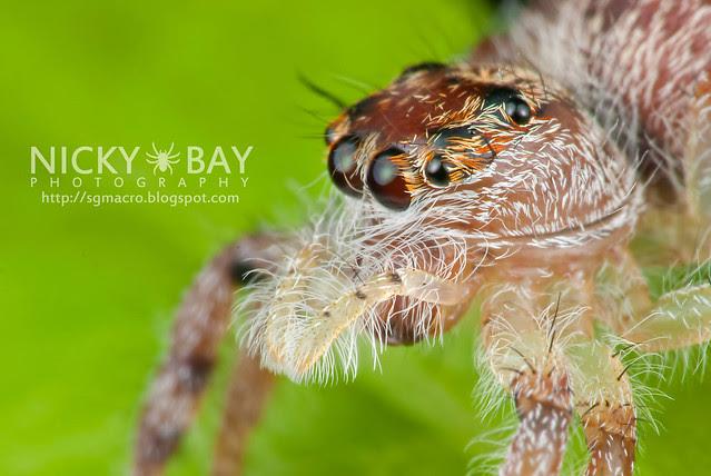 Jumping Spider (Salticidae) - DSC_8026